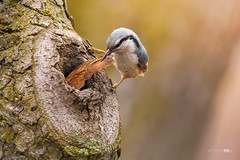 Hard Work (Emyan) Tags: tree nature birds ukraine kharkiv eurasiannuthatch nestmaterial  sittauropaea