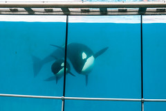 Mother & young killer whales (koalie) Tags: france water animal tank killerwhale antibes marineland biot provencealpescôtedazur