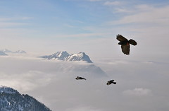 """I believe I can fly""... (echumachenco) Tags: schnee winter snow salzburg forest germany bayern deutschland bavaria austria haze wald soe dunst autofocus untersberg stleonhard alpinechough zwiesel berchtesgadenerland hochstaufen chiemgaueralpen alpendohle osterreich salzburgerhochthron flickraward nikond3100"