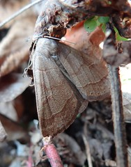 moth, unidentified (Pete&NoeWoods) Tags: moth lepidoptera animalia arthropoda unidentified lep insecta butterfliesandmoths taxonomy:class=insecta taxonomy:order=lepidoptera taxonomy:kingdom=animalia taxonomy:phylum=arthropoda mariposasypolillas taxonomy:common=butterfliesandmoths      papillonsetpapillonsdenuit taxonomy:common= taxonomy:common= taxonomy:common= taxonomy:common= taxonomy:common= taxonomy:common=papillonsetpapillonsdenuit taxonomy:common=mariposasypolillas beavercountypennsylvania f13woo02 stategamelands189