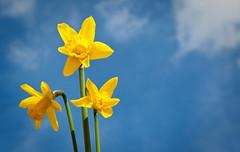 Forr (rmtx) Tags: uk blue sky yellow clouds scotland edinburgh daffodil daffodils