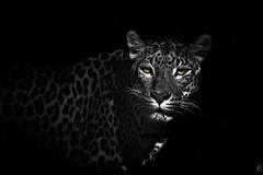 Leopard on black (chmeermann | www.chm-photography.com) Tag