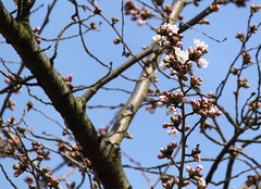 Bloesemtakken @Kruidtuin Leuven (Kristel Van Loock) Tags: primavera leuven spring belgium belgique blossom belgië lente botanicalgarden belgica printemps louvain springtime flanders belgien belgio jardinbotanique vlaanderen flandre vlaamsbrabant giardinobotanico kruidtuin springblossom lovanio fiandre lentebloesem bloesemtak
