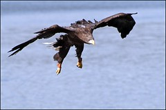 Sea Eagle (Jim Taylor1) Tags: inflight blairdrummond whitetail seaeagle