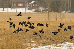 Swarming Jackdaw (A.Sundell) Tags: lake bird nature rain weather birds animal prime pentax sweden natur swedish 300mm da raindrops birdsinflight sverige vatten f4 bif fglar sj djur fgel vstmanland surahammar naturfoto weathersealing framns naturphoto da300mm pentaxda300mmf4 pentaxda3004 pentaxk5