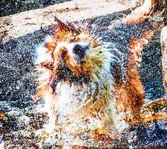 Dogs just love water (Steve-h) Tags: ireland dublin dog texture water animal canon river lens concrete eos blog droplets drops movement europa europe zoom action eu spray blogs telephoto bloggers blogging handheld steppingstones waterdrops shaking drying spotmetering dodder shaggydog aperturepriority steveh canonef100400mmf4556lisusm riverdodder 100mm400mm canoneos5dmkii canoneos5dmk2 skeletalmess