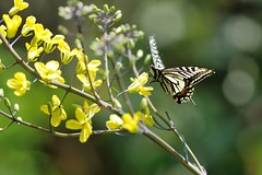 Papilio xuthus (myu-myu) Tags: flower nature japan butterfly insect nikon ngc mygarden  swallowtail redcabbage     d300s