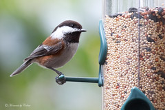 Chestnut-backed Chickadee (Canon Queen Rocks (2,715,000 + views)) Tags: nature birds wings colours wildlife beak feathers feeder perched markings avian chickadees chestnutbackedchickadee