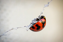 Ladybird (AmerAbbasi) Tags: red black macro bird up lady canon bug lens spider is close stuck web 100mm ladybird ladybug l usm f28 60d
