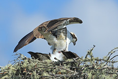 Final Move   (5)_DEK6115a (DennisKirkland) Tags: morning bridge wild male nature birds female canon outdoors daylight spring nest top wildlife pair bottom breeding adults submission osprey avian approaching predators predatory breedingpair fishhawks robertsonsbridge dennisekirkland