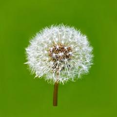 Dandelion (floralgal) Tags: flower nature garden spring weeds dandelion florals