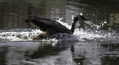Landing with a splash (begineerphotos) Tags: calgary bird water canon goose alberta canadagoose inglewoodbirdsanctuary