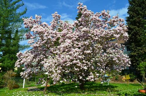 Magnolienblüte 2013