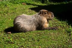 Capybara (wells117) Tags: 2016 700d hydrochoerushydrochaeris manorwildlifepark august august2016 canon capybara clivewells park pembrookshire rodent wales wildlife