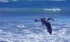 Got Shrimp (F.emme) Tags: beach huntingtonbeach gulls seagulls shrimp pacificocean ocean