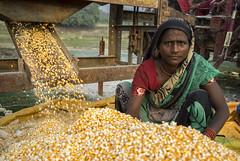 Farmer Sunita Baineya checking her maize as it comes out of a shelling machine powered by 4WT in Sirkohiya, Bardiya. (CIMMYT) Tags: nepal csisa cimmyt maize agriculture smallholder farmer mechanization asia