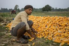Farm worker Jugal Sing preparing maize for mechanized shelling in Sirkohiya, Bardiya. (CIMMYT) Tags: nepal csisa cimmyt maize agriculture smallholder farmer mechanization asia