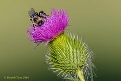 Bumble Bee on a thistle flower (danielusescanon) Tags: bumblebee purple lakeartemesia maryland thistle