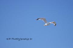 Volatile ocanique (PhotOw'graphie) Tags: mouette oiseau mer bleu vol voler plume