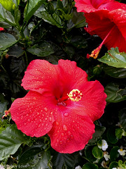 Droplets (Lyubov Love) Tags: rose roses flower flowers pink red bright nature bloom blossom drop droplet water droplets