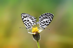 Couple story (anitavaroy) Tags: beauty two nature macro flower beautiful closeup butterfly animal love couple insect garden insects wildlife together outdoors butterflies beautyinnature natural light holding pierrot papillon mating lepidoptera entomology bonding world naturephotograph mature