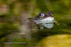 Common Toad - 1 (jaycees2012) Tags: greatbritain greaterlondon england truetoads amphibians londonboroughofbexley toad amphibia animalia bufobufo bufonidae commontoad europeantoad unitedkingdom