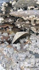 Shell (Koyukichi) Tags: sea shell nature seaside stone geology outdoor