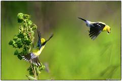 Shift change (RKop) Tags: a77mk2 600mmf4apogminolta armlederpark ohio cincinnati raphaelkopanphotography sony wildlife