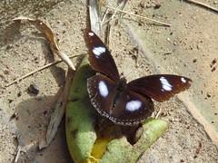 Hypolimnas missipus male Danaid eggplant (alainpere407) Tags: alainpere triptolaos laos papillon butterfly hypolimnasmissipus danaideggplant vividstriking ems