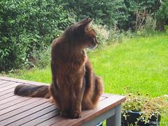 Watching the gardener... (Finn Frode (DK)) Tags: cats watch table garden rags dusharatattersandrags somali somalicat som olympus omdem5 denmark animal pet cat outdoor