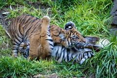 Debbie and Cathy playing around (ToddLahman) Tags: cathy debbie joanne teddy exhibitb escondido sandiegozoosafaripark safaripark sumatrantiger babysumatrantiger canon7dmkii canon canon100400 tigers tiger tigertrail tigercub lowlight