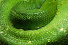 Snakeskin (brentflynn76) Tags: snake skin reptile animal macro texture green colour color scales