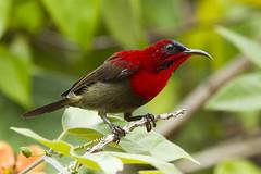 Crimson Sunbird (male) (christopheradler) Tags: malaysia crimson sunbird aethopyga siparaja crimsonsunbird aethopygasiparaja