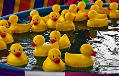 Pool of hard knocks (TwinCitiesSeen) Tags: duck rubberduck fair steelecountyfreefair owatonna minnesota twincitiesseen canont3i tamron2875mm
