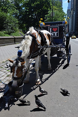 Take a Walk on the Wild Side (Eddie C3) Tags: newyorkcity centralpark centralparksouth hansomcab hansomcarriage streetscenes urbanlandscape horse nyc nycparks pigeons