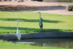 White Crane & Blue Heron 2 (krenzphotography) Tags: nature outdoors animals wildlife life wild animal arizona chandler birds bird pond lake golf course blue heron white crane