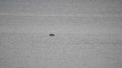 Short video ( Seal ) Pickering Pastures Local Nature Reserve,Halebank 20th September 2016 (Cassini2008) Tags: pickeringpastureslocalnaturereserve rivermersey nature wildlife halebank seal