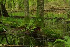 IMGP5313 (msklodowski) Tags: biaowiea primeval forest