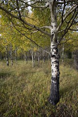 Trembling Aspen (Edmonton Ken) Tags: populus tremuloides trembling aspen poplar tree leaves trunk bole colour color fall yellow green bark grove copse