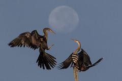 Lunar Rendezvous (gseloff) Tags: anhinga bird bif dispute moon wildlife horsepenbayou pasadena texas kayakphotography gseloff