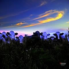 Welsh Bulls wih Halo Created by the Sunset (caren (Thanks for 1 Million+ views)) Tags: sunset welshsunset sunlight welshbulls nature blue sonnenuntergang landscape landschaft halo wales ceredigion orange