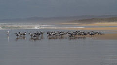 Terns and Gulls (Byron Taylor) Tags: crestedtern tern silvergull silvergulls gull beach ocean fraserisland island australia australiasia queensland qld canon canon7d wildlife nature