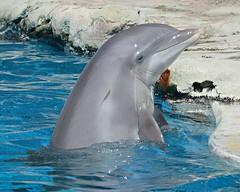 Candy Spyhopping (Haku_Orka) Tags: hakuorka photography photo foto fotografia animali animals cetacei cetaceans bottlenose dolphin delfino tursiope oltremare riccione italia italy laguna lagoon underwater spettacolo show up close candy behavior