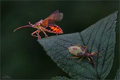 Abflug - Lederwanzen (Traumflieger_Foto) Tags: coreusmarginatus lederwanze insektenimflug traumflieger highspeedstack helicon focus pro