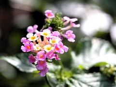 Tiny Blooms (SnapRat200) Tags: epl6 macro extensiontube nature olympus flowers