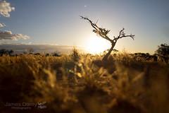 Tiny-twisted tree (Jbdorey) Tags: ecology wa australian australianphotographer brisbane canon flora grass httpwwwjamesdoreyphotographycomau jamesdorey jamesdoreyphotography jbdorey nature outback photographer photography plant science scientist sunset tree westernaustralia wideangle zoology
