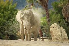 lphant d'Afrique (lucasizard) Tags: animaux animal extrieur nature antilope lightroom 700d canon africa sigean rserve afrique savane autruche monochrone noir blanc white black lphant objectif tlobjectif zoom