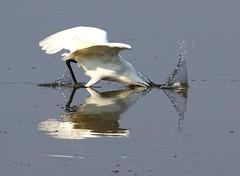 Little Egret (Lutra56) Tags: littleegret egrettagarzetta egret birds britishbirdsandwildlife britishbirds nature farings lincolnshire naturereserve canon7dmk11 sigma150600mmsport