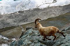 do not lose your second antler (werner boehm *) Tags: wernerboehm capricorn gornergrat schweiz gebirge steinbock tier