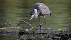 Hunting or fishing? (bourdinm2002) Tags: hron cendr ardea cinerea grey heron parc de sceaux